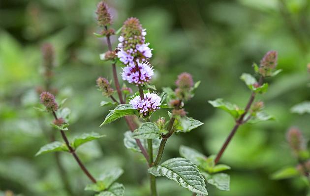 salvia, kukka, Adrian Evans, luonnonmukainen viljely, puutarha, puutarhuri, kotiliesi