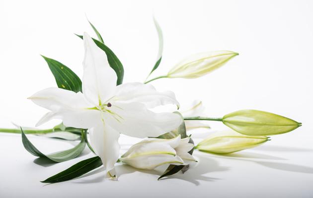Valkoisia liljoja