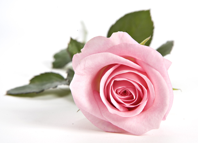 Vaalenapunainen ruusu