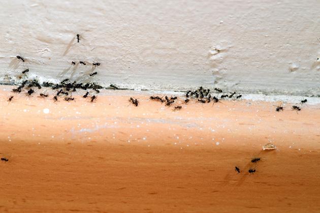 Muurahaiset pyrkivät sisätiloihin ruoan toivossa.