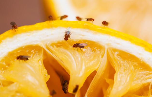 Kuva - Valloittivatko banaanikärpäset kotisi? Näin hankkiudut niistä tehokkaasti eroon