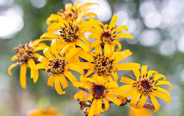 Kallionauhuksen kukkien siemenet talteen