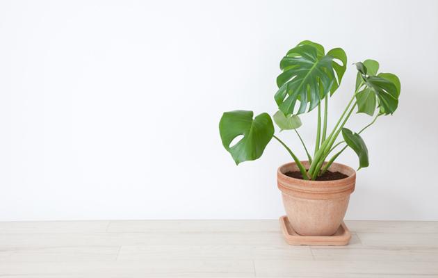 Viherkasvit piristävät kodin sisustusta.