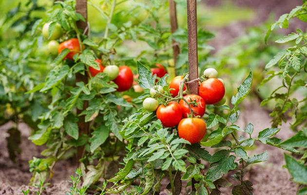 Raaka tomaatti on myrkyllinen.
