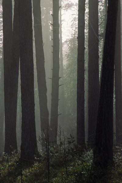 Utuinen metsä