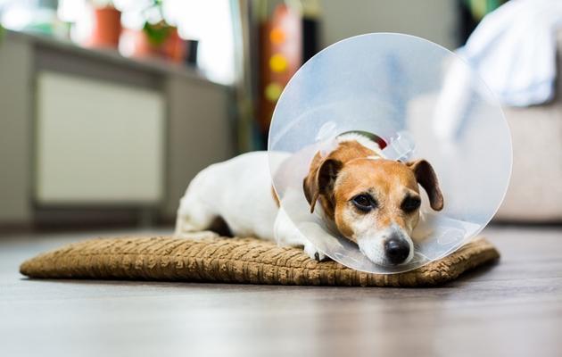 Sairas koira voi vetäytyä omiin oloihinsa.