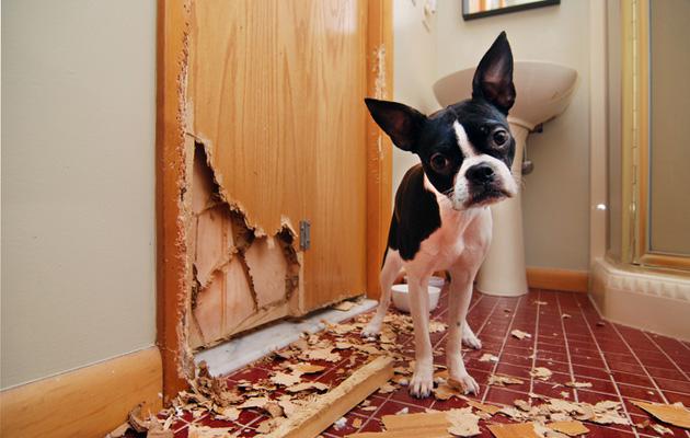 Eroahdistus on yleisimpiä koirien käytöshäiriöitä.