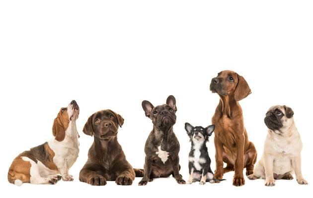 Eri rotuisia koiria istumassa. Testaa, kuinka monta tunnistat!