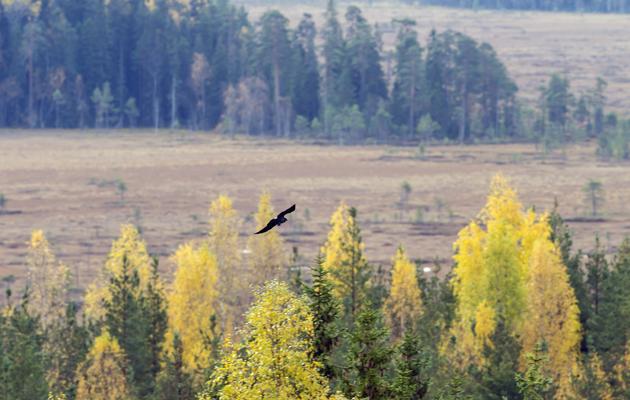 Kuva - Tätä et tiennyt parjatuista varislinnuista – 5 yllättävää ominaisuutta