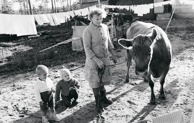 Kummikerhon lehmiä lahjoitettiin syrjäseudun perheille vielä 1960-luvulla.
