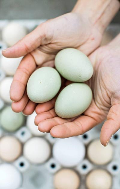 Ankan munia