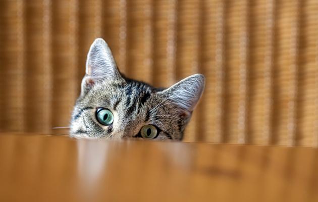 Nostaa kissa pöydälle.