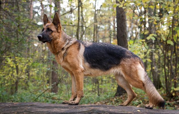 Jotkin sairaat koirarodut ovat hyvin suosittuja.