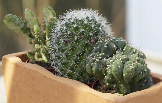 kaktuksia ruukussa