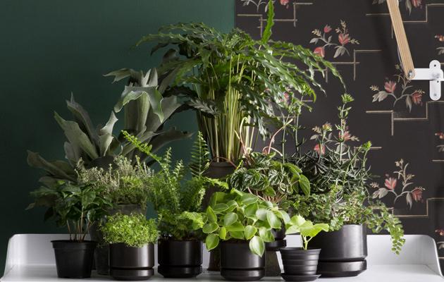 Kokoa huonekasvit ryhmäksi.