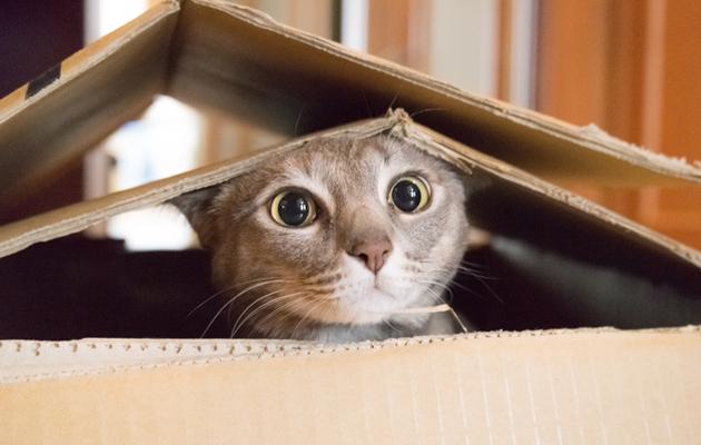 Kissa pahvilaatikossa.
