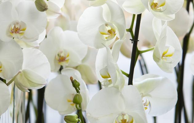 orkideoja