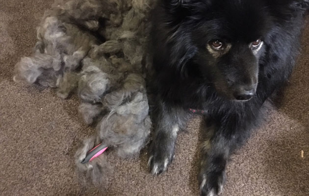 Kuva - Oman koiran karvasta syntyy maailman lämpöisintä lankaa, mutta miten sitä saa, ja mitä se maksaa?