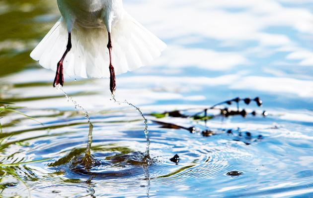 lintu, runous, runo, runoja linnuista, linturuno, eläinruno