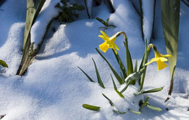 Narsissi pärjää maaliskuussa ulkona, kunhan pakkanen pysyy alle kymmenessä asteessa.