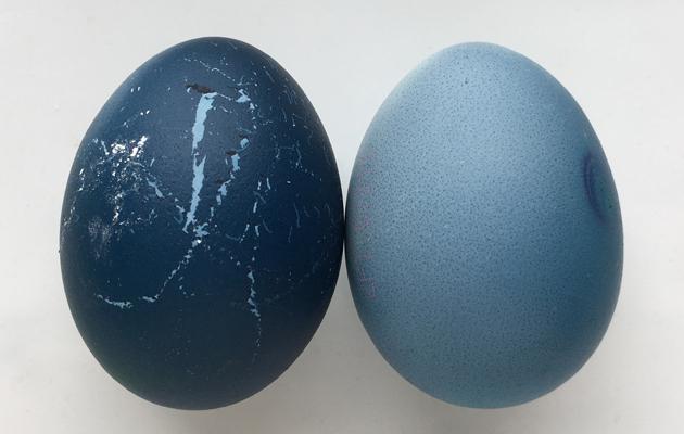 Kananmunien värjääminen punakaalilla.