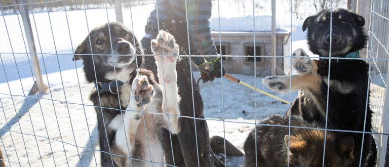matkailuyrittäjä, alaskanhusky, 27 koiraa, Maalla-lehti, Juho ja Hanna Ylipiessa, yrittäjä, koirahullu