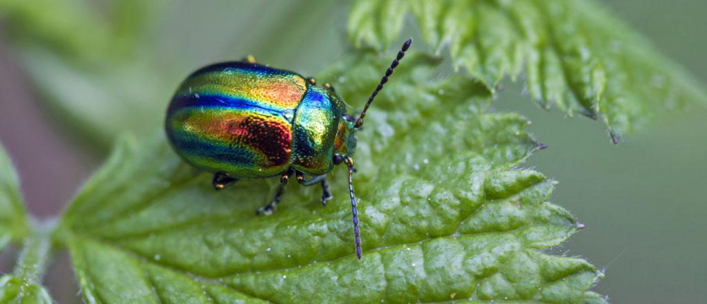 Kuva - Katso upeat kuvat! Kovakuoriainen voi olla kuin koru