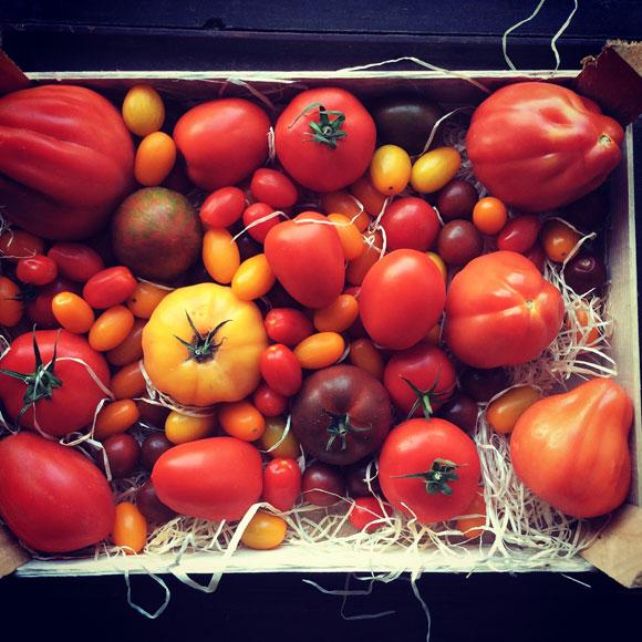 Himahella erilaisia tomaatteja