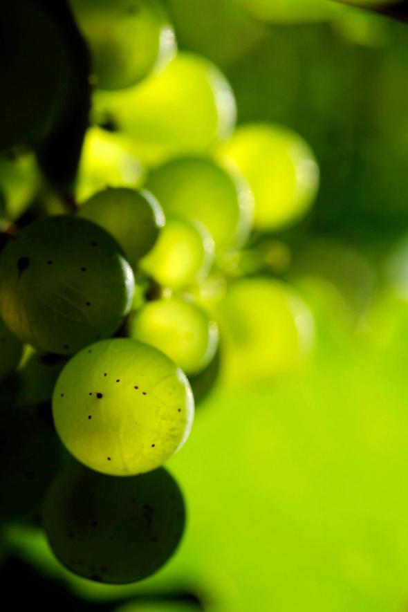 Riesling-rypäleitä, kuva: Saksan viinitiedotus