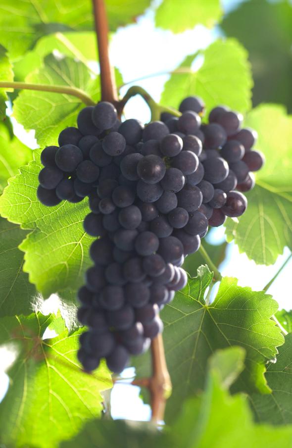 Spätburgunder eli Pinot Noir -rypäleitä, kuva: Saksan viinitiedotus