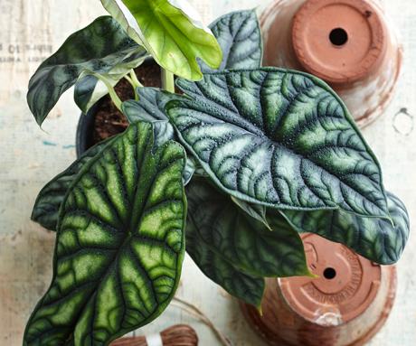 Kuva - Huonekasvien kastelu: viisi vinkkiä