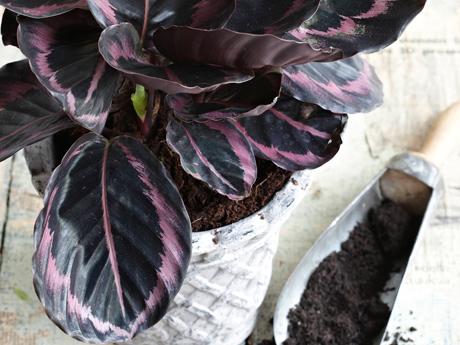 Kuva - Huonekasvien mullanvaihto tehdään keväällä