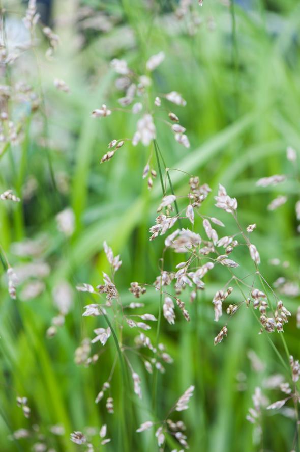 Jotkin koristeheinät kukkivat. Kuvassa niittymaarianheinä.