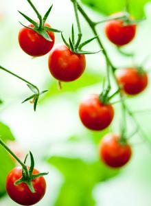 Kuva - Tomaatin kasvatus parvekkeella