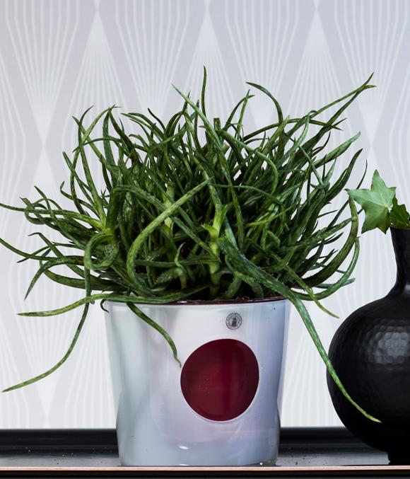 Vanhat Huonekasvit