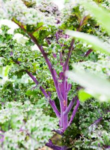 Kuva - Mangoldi ja lehtikaali kasvavat helposti