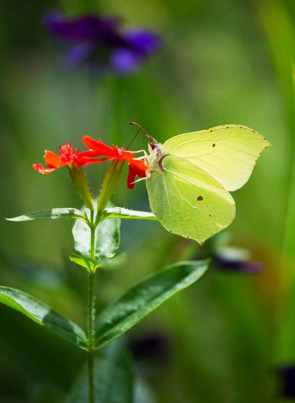 Kuva - Perhoset ihastuttavat luonnossa ja puutarhassa