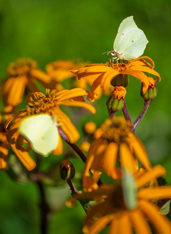 sitruunaperhoset