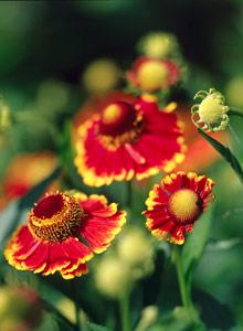 Kuva - Hohdekukkien kukinnasta voi nauttia syksyllä