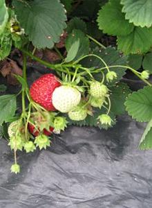 Kuva - Poimi itse mansikoita