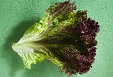 Kuva - Salaattilajikkeet