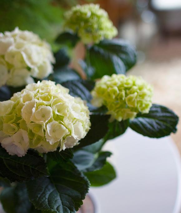 Joulukukka hortensia